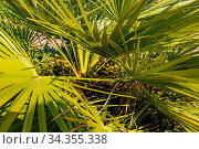 Dattelpalme - Nahaufnahme einer Palme mit Früchte in der Palmenkrone. Стоковое фото, фотограф Zoonar.com/Alfred Hofer / easy Fotostock / Фотобанк Лори