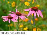 Purpur-Sonnenhut,Echinacea purpurea, purple coneflower. Стоковое фото, фотограф Zoonar.com/Jürgen Vogt / easy Fotostock / Фотобанк Лори