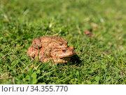 Glückliches Krötenpaar unterwegs im grünen Gras - Frösche in Laichzeit. Стоковое фото, фотограф Zoonar.com/Alfred Hofer / easy Fotostock / Фотобанк Лори