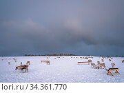 Herd of reindeers looking for food in snow, Tromso region, Northern... Стоковое фото, фотограф Zoonar.com/Pawel Opaska / easy Fotostock / Фотобанк Лори