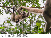 Купить «Northern muriqui monkey (Brachyteles hypoxanthus) juvenile aged one year, in tree playing with its mother's tail, RPPN Feliciano Miguel Abdala, Atlantic Forest, Brazil. June.», фото № 34363302, снято 4 августа 2020 г. (c) Nature Picture Library / Фотобанк Лори