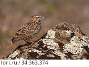 Thekla's lark (Galerida theklae) with crest down on lichen-covered rock, Parque Natural Sierra de Andujar, Andalucia, Spain. January. Стоковое фото, фотограф Staffan Widstrand / Nature Picture Library / Фотобанк Лори