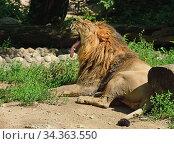 Asiatic lion (Panthera leo persica) yawns lazily. Стоковое фото, фотограф Валерия Попова / Фотобанк Лори
