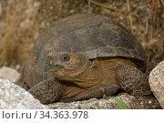 Desert tortoise (Gopherus agassizii), Arizona, USA, July. Стоковое фото, фотограф John Cancalosi / Nature Picture Library / Фотобанк Лори
