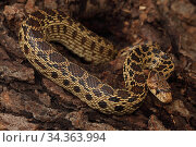 Pacific gopher snake (Pituophis melanoleucus catenifer), Captive, USA. Стоковое фото, фотограф John Cancalosi / Nature Picture Library / Фотобанк Лори