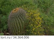 Desert vine (Janusia gracilis) with Fishhook barrel Cactus (Ferocactus wislizeni) Sonoran Desert, Arizona, USA. August. Стоковое фото, фотограф John Cancalosi / Nature Picture Library / Фотобанк Лори