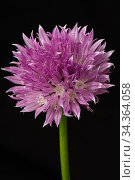 Chive (Allium schoenoprasum) flower, a kitchen herb of the onion family. Стоковое фото, фотограф Nigel Cattlin / Nature Picture Library / Фотобанк Лори