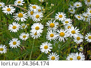 Scentless mayweed, (Tripleurospermum inodorum) a weed and secondary... Стоковое фото, фотограф Nigel Cattlin / Nature Picture Library / Фотобанк Лори