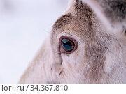 Close up of a reindeer eye in snow, Tromso region, Northern Norway. Стоковое фото, фотограф Zoonar.com/Pawel Opaska / easy Fotostock / Фотобанк Лори
