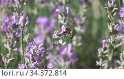 Working bee is gathering honey or pollen from beautiful lavender flowers. Стоковое видео, видеограф Ярослав Данильченко / Фотобанк Лори
