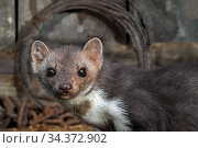 Close-up portrait of Beech marten (Martes foina) foraging in farm building, Germany. Captive. Digital composite. Стоковое фото, фотограф Philippe Clement / Nature Picture Library / Фотобанк Лори