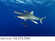 Oceanic whitetip shark (Carcharhinus longimanus), and Pilotfish (Naucrates ductor). Egypt, Red Sea. Стоковое фото, фотограф Brandon Cole / Nature Picture Library / Фотобанк Лори
