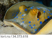 Bluespotted ribbontail ray (Taeniura lymma) Egypt, Red Sea. Стоковое фото, фотограф Brandon Cole / Nature Picture Library / Фотобанк Лори