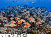 School of Humpback snappers (Lutjanus gibbus), French Polynesia, Pacific Ocean. Стоковое фото, фотограф Brandon Cole / Nature Picture Library / Фотобанк Лори