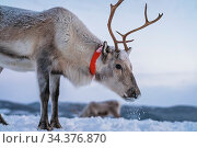 Portrait of a reindeer with massive antlers pulling sleigh in snow... Стоковое фото, фотограф Zoonar.com/Pawel Opaska / easy Fotostock / Фотобанк Лори