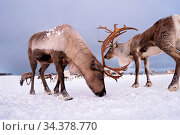Portrait of a reindeer with massive antlers digging in snow in search... Стоковое фото, фотограф Zoonar.com/Pawel Opaska / easy Fotostock / Фотобанк Лори