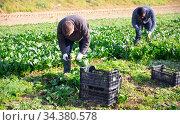 Workmen cutting spinach on farm field. Стоковое фото, фотограф Яков Филимонов / Фотобанк Лори