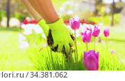 man pouring soil to flowers at summer garden. Стоковое видео, видеограф Syda Productions / Фотобанк Лори