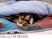 Katze erholt sich in ihrem Versteck im Bett - Nahaufnahme. Стоковое фото, фотограф Zoonar.com/Alfred Hofer / easy Fotostock / Фотобанк Лори