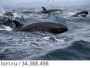 False killer whales (Pseudorca crassidens) surfacing  Northern New Zealand. Стоковое фото, фотограф Richard Robinson / Nature Picture Library / Фотобанк Лори