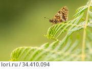 Heath fritillary (Mellicta athalia) butterfly basking on bracken (Pteridium aquilinum), Exmoor National Park, Devon, UK. June. Стоковое фото, фотограф Ross Hoddinott / Nature Picture Library / Фотобанк Лори