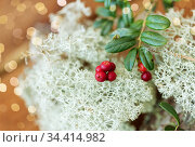 close up of cowberry and reindeer lichen moss. Стоковое фото, фотограф Syda Productions / Фотобанк Лори