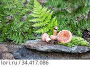 Сырые волнушки на камнях на фоне папоротников в лесу. Стоковое фото, фотограф Наталья Осипова / Фотобанк Лори