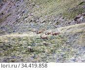Сибирские горные козлы или козероги пасутся на лугу (2016 год). Стоковое фото, фотограф Олег Елагин / Фотобанк Лори
