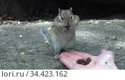 Video of chipmunk eats sunflower seeds from the hand. Стоковое видео, видеограф Serg Zastavkin / Фотобанк Лори