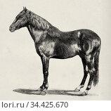 Regent II horse, stallion stockbreeding Baltasar Hidalgo de Medina... Стоковое фото, фотограф Jerónimo Alba / age Fotostock / Фотобанк Лори