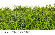 Grünes Gras isoliert vor weiß als Natur Hintergrund Textur. Стоковое фото, фотограф Zoonar.com/Robert Kneschke / age Fotostock / Фотобанк Лори