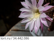 Succulent prickly, plant (Echinоpsis) with delicate flowers grows close-up. Стоковое фото, фотограф Татьяна Ляпи / Фотобанк Лори
