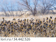 Yellow-headed blackbirds (Xanthocephalus xanthocephalus) flock at roost, Whitewater Draw, Arizona State Game and Fish Reserve, USA. January. Стоковое фото, фотограф Jack Dykinga / Nature Picture Library / Фотобанк Лори