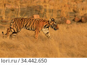 Bengal tiger (Panthera tigris) cub age two months, Ranthambhore, India. Стоковое фото, фотограф Andy Rouse / Nature Picture Library / Фотобанк Лори