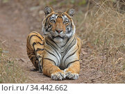 Bengal tiger (Panthera tigris) tigress 'Noor' resting Ranthambhore, India. Стоковое фото, фотограф Andy Rouse / Nature Picture Library / Фотобанк Лори