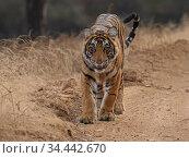 Bengal tiger (Panthera tigris) tigress 'Arrowhead' Ranthambhore, India. Стоковое фото, фотограф Andy Rouse / Nature Picture Library / Фотобанк Лори