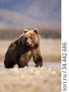 Grizzly bear (Ursus arctos horribilis) portrait, Katmai Peninsula, Alaska, USA. September. Стоковое фото, фотограф TJ Rich / Nature Picture Library / Фотобанк Лори