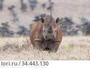 Black rhino (Diceros bicornis) standing in long grass, Lewa Wildlife Conservancy, Laikipia, Kenya. October. Стоковое фото, фотограф Tui De Roy / Nature Picture Library / Фотобанк Лори