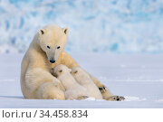 Polar bear (Ursus maritimus) female with two cubs suckling, Svalbard... Стоковое фото, фотограф Philip Dalton / Nature Picture Library / Фотобанк Лори
