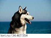 Portrait mammal race dog purebred husky by the sea. Стоковое фото, фотограф Яна Королёва / Фотобанк Лори