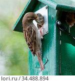 Adult sparrow feeding a young sparrow in a birdhouse. Стоковое фото, фотограф Zoonar.com/Micha Klootwijk / age Fotostock / Фотобанк Лори