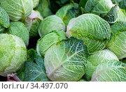 Closeup of fresh savoy cabbages. Стоковое фото, фотограф Яков Филимонов / Фотобанк Лори