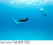 Underwater view of hovering Giant oceanic manta ray, Manta Birostris , and man free diving in blue ocean. Watching undersea world during adventure snorkeling tour on Maldives islands. Стоковое фото, фотограф Matej Kastelic / Фотобанк Лори