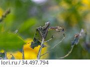 Гусеницы капустницы. Насекомое вредитель Капустница, или белянка капустная. Стоковое фото, фотограф Ольга Сейфутдинова / Фотобанк Лори