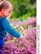 Little Caucasian boy picking up purple Loosestrife flowers in the... Стоковое фото, фотограф Zoonar.com/Pawel Opaska / easy Fotostock / Фотобанк Лори
