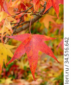Herbst, ahorn, blatt, blätter, herbstlich, baum, natur, rot, bunt... Стоковое фото, фотограф Zoonar.com/Volker Rauch / easy Fotostock / Фотобанк Лори