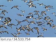 Weisswangengans, die erste in Schweden, in freier Wildbahn, nachgewiesene... Стоковое фото, фотограф Zoonar.com/Helge Schulz / easy Fotostock / Фотобанк Лори