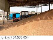 Bulk of wheat grain is under roof of mill storage silo, cereal harvesting season, agricultural machinery. Стоковое фото, фотограф Кекяляйнен Андрей / Фотобанк Лори