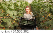 Portrait of successful female farmer engaged in cultivation of organic cucumbers standing with crossed arms in greenhouse. Стоковое видео, видеограф Яков Филимонов / Фотобанк Лори