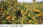 Ripe tangerines on a branch in the garden. Стоковое видео, видеограф Яков Филимонов / Фотобанк Лори